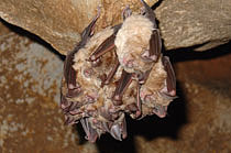 The biggest species occurrence of bats