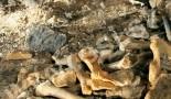Pozostałości kości niedźwiedzia jaskiniowego