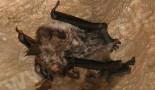 Netopier obyčajný (myotis myotis)